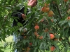peaches-canon-0247